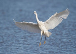 Little Egret portfolio