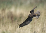 Marsh Harrier portfolio
